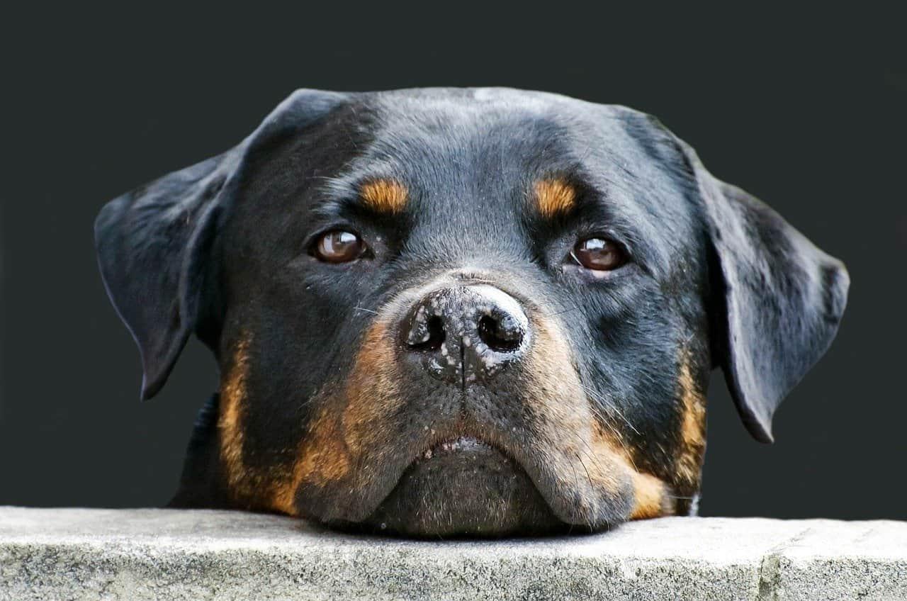 Hund gegen Einbrecher